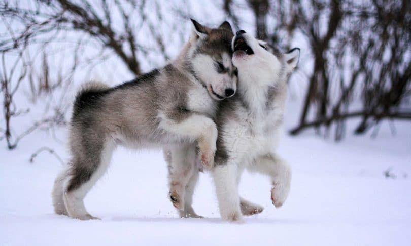 perros Malamute