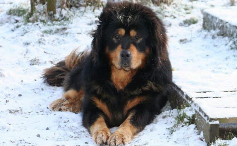 perro Dogo del Tibet