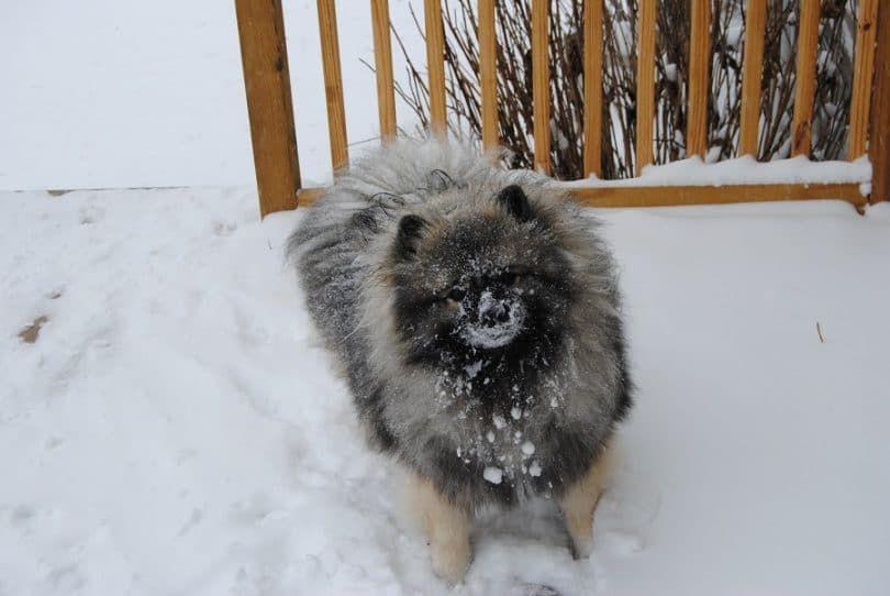 Keeshond en la nieve