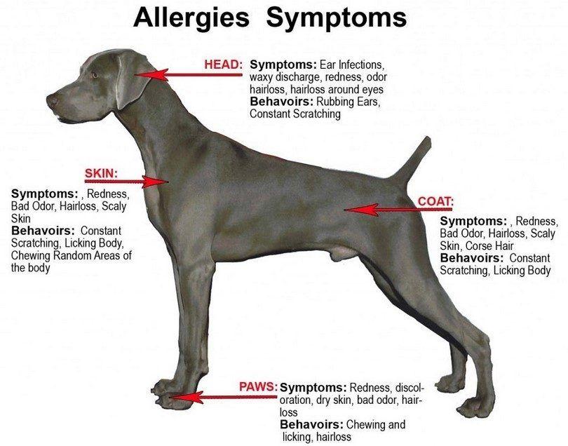 alergia síntomas perro