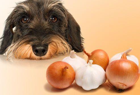 Cebollas y ajo alimentos tóxicos para los perros