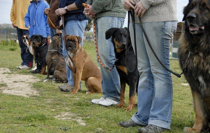 Formación perro de compañía: técnicas básicas rover debe saber para competiciones