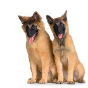 La elección de la raza adecuada de perro