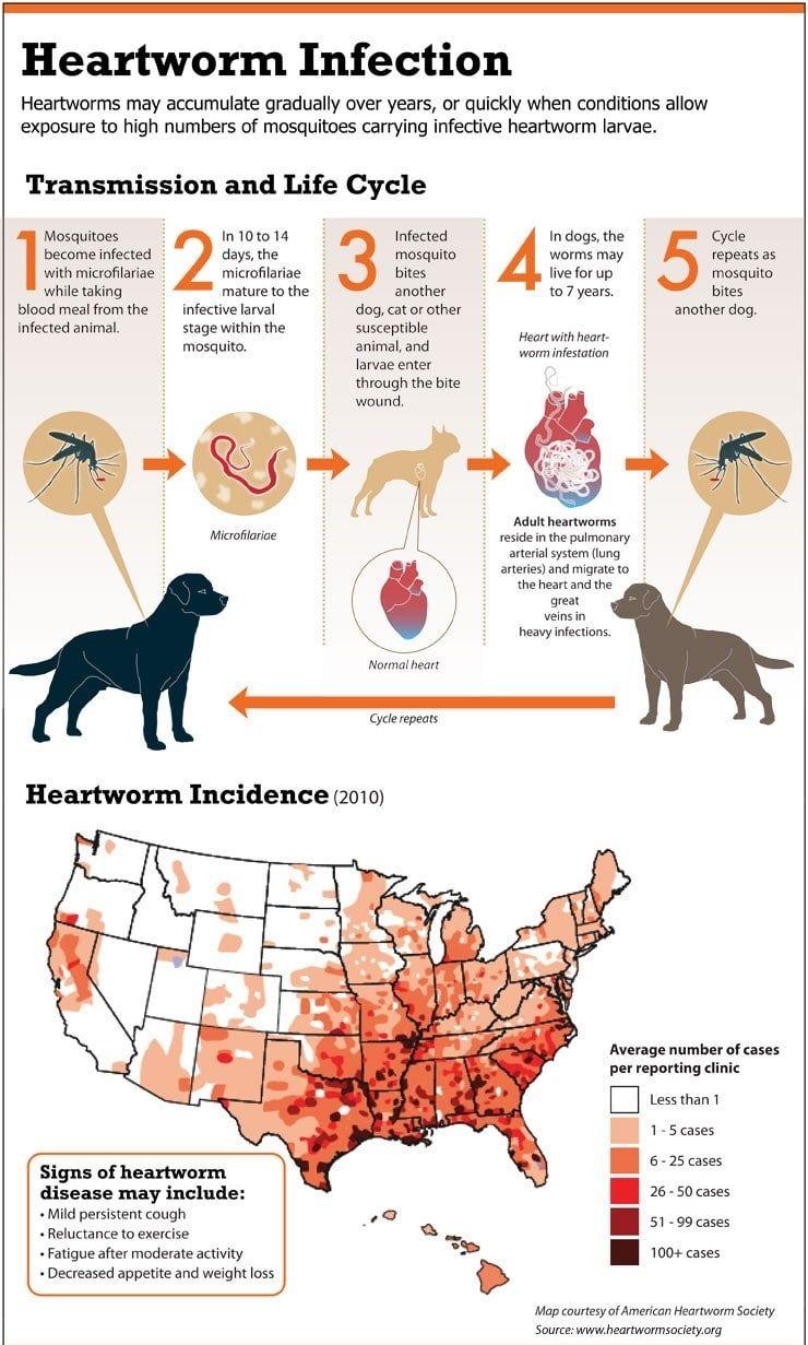 Gusano del corazón infección infografía