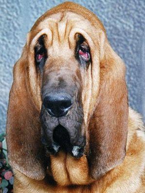 Algunas razas de perros son mГЎs susceptibles a la conjuntivitis