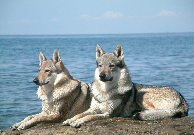 Razas de perros: perros fresco impresionante que ni siquiera sabía nada