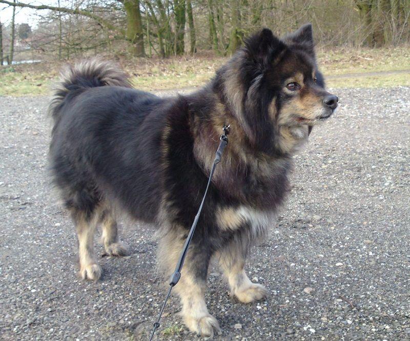 El Lapphund finlandés