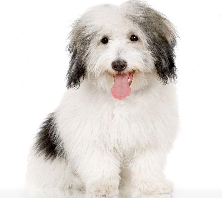 Raza Coton de Tulear Dog