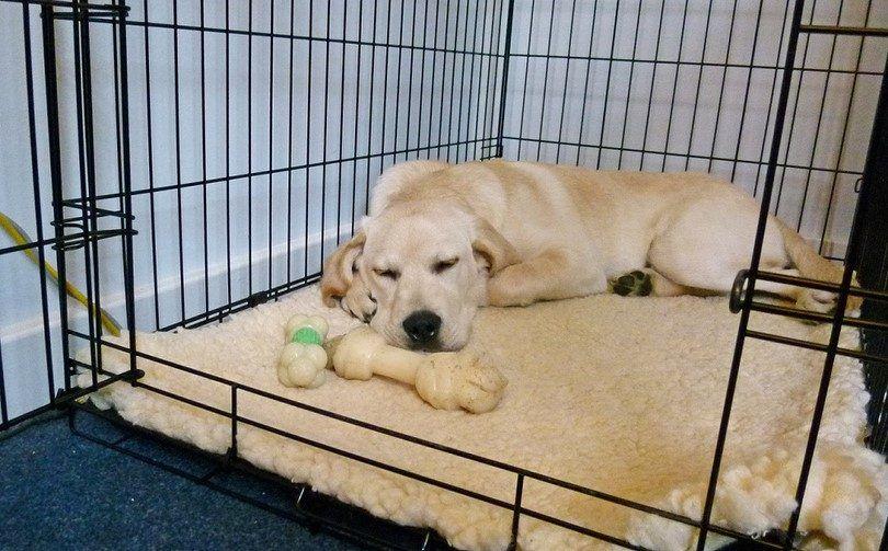 El entrenamiento del cajón para el perro adulto