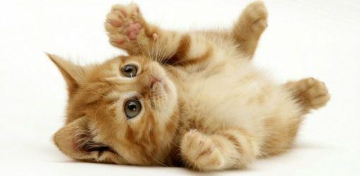 Quitar las garras de gatos cГіmo, cuando, pros y contras, alternativas, el costo