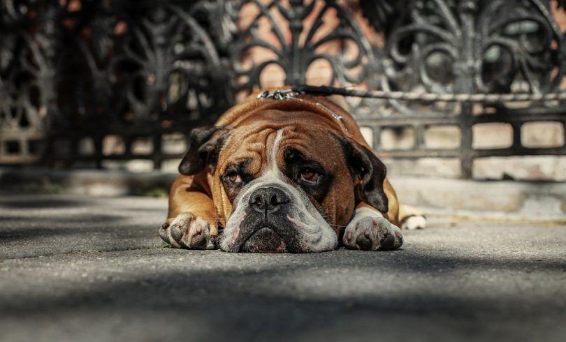 La depresión en los perros: signos, causas, opciones de tratamiento y más