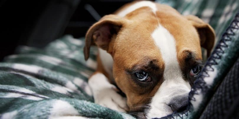 Los signos de la depresión en los perros
