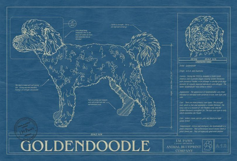 impresiГіn Goldendoodle