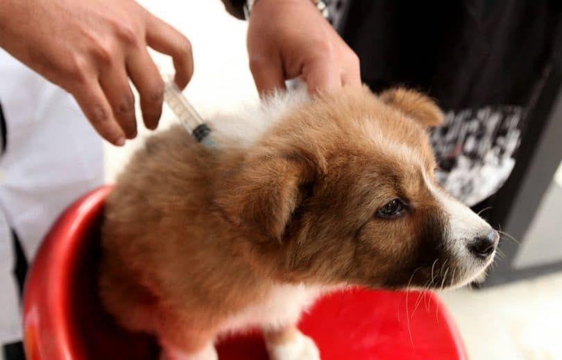 La vacunación de perros