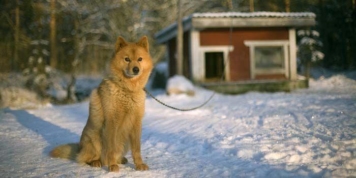 perro del invierno al lado de la casa del perro que guarda