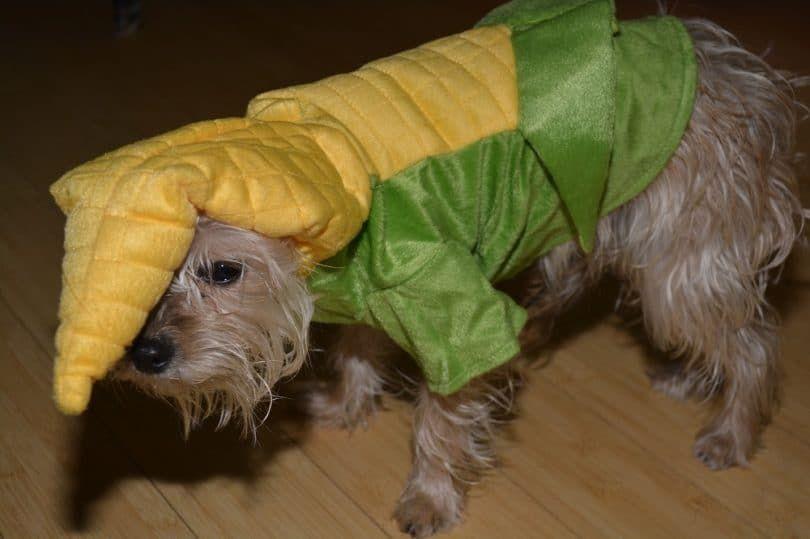 perro de maíz