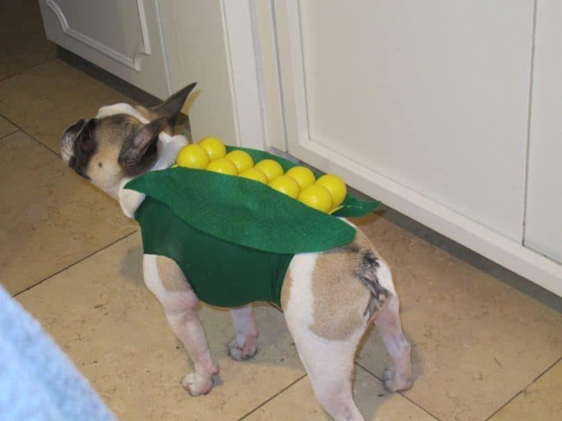 Perro en el traje de maíz