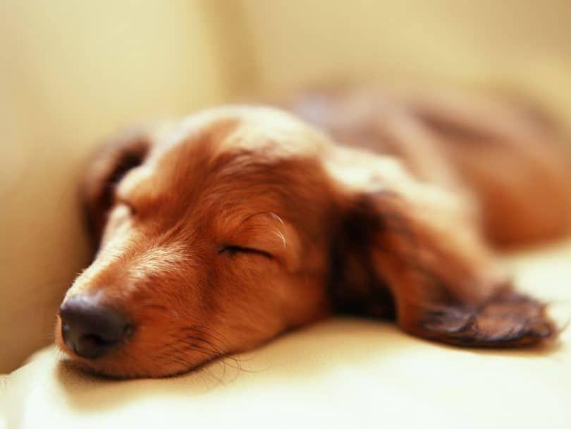 Perro el dormir y el sueño