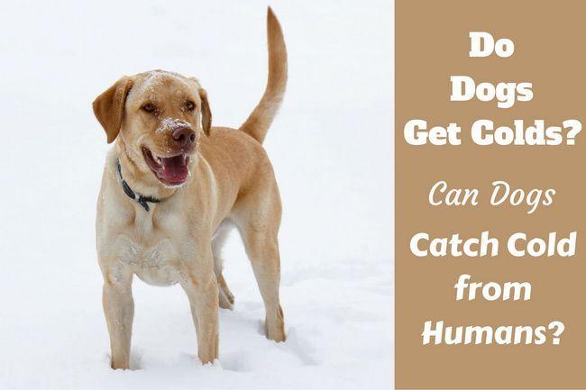 ¿Los perros se resfrían? La síntomas, prevención y tratamiento