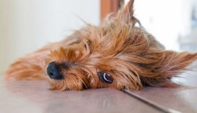 ¿Los perros tienen períodos? Una cuestión potencialmente desordenado contestado