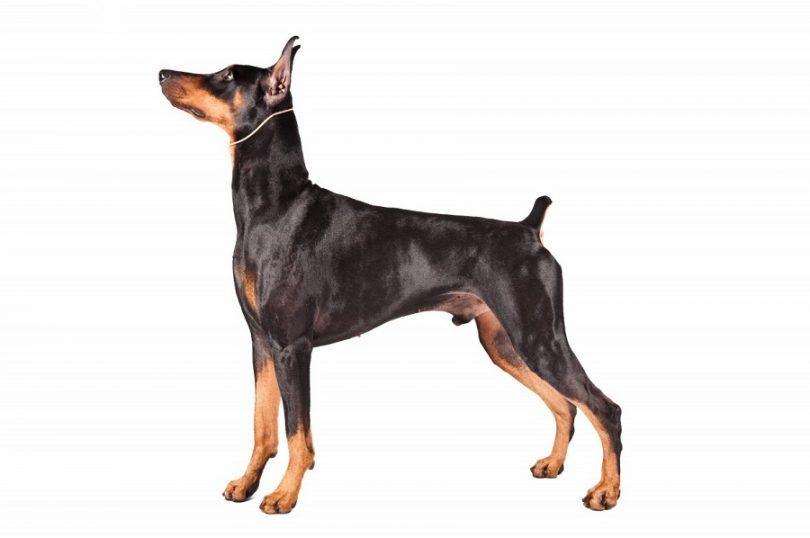 perro de raza Doberman Pinscher