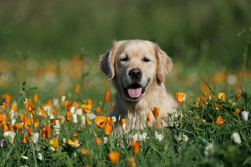 Retriever en la naturaleza