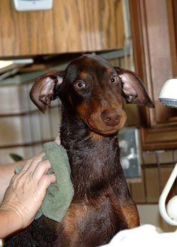 Consejos para perros de baГ±o CГіmo dar un perro un baГ±o - toalla seca