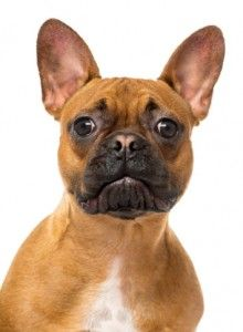 El lenguaje corporal del perro - la tercera parte: la cabeza