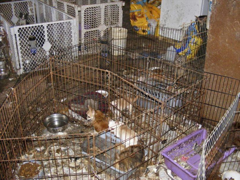 fábricas de cachorros negligencia