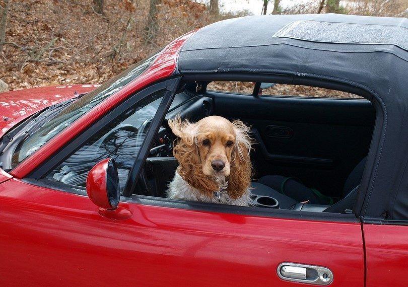 La seguridad del coche del perro: disfrutar del paseo con su mascota