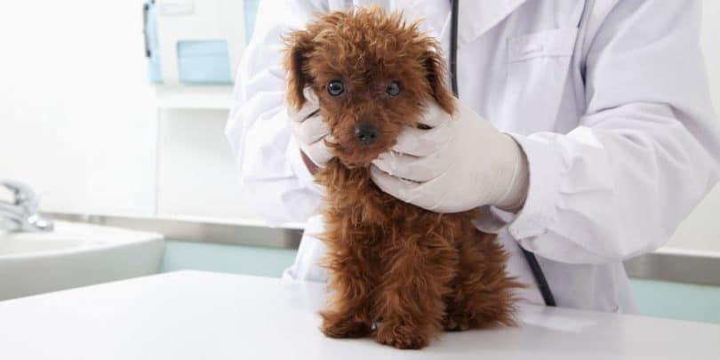 Perro en el veterinario que examina