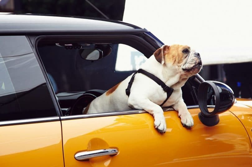 Bulldog Inglés en el coche