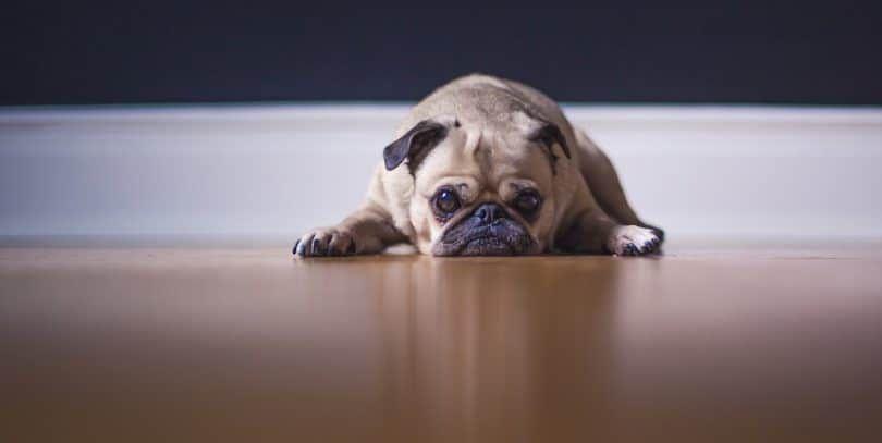 perro a casa sola