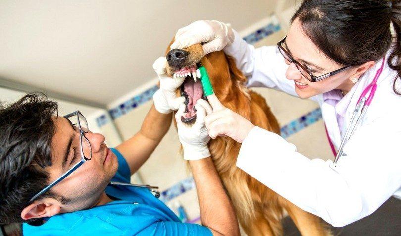 Dientes de perro del veterinario de limpieza