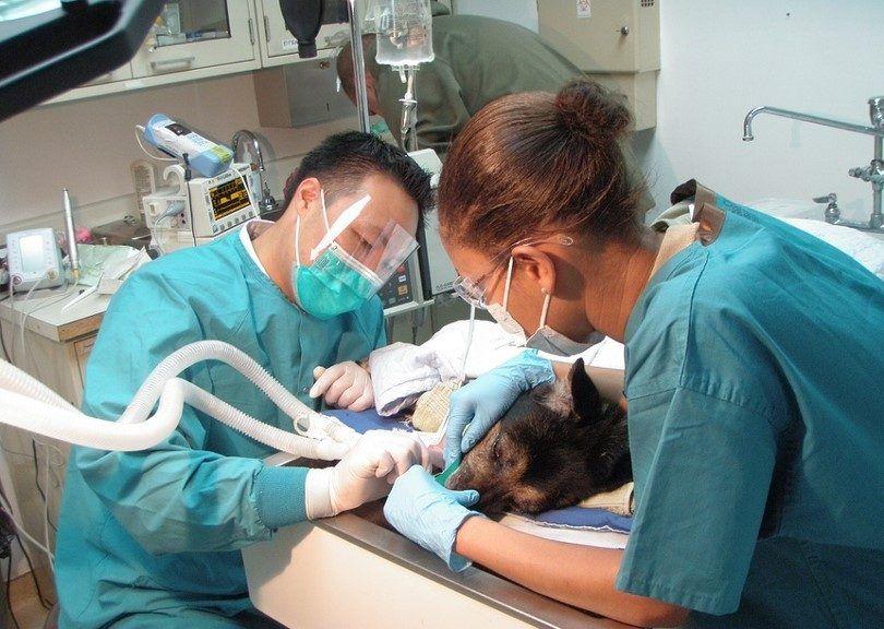 Perro que miente en el dentista