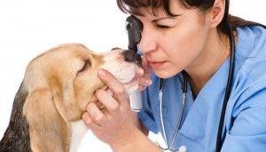 Las alergias oculares de perros en perros - SГntomas Razones y remedios bГЎsicos