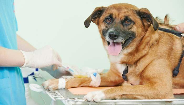 ojo prueba de sangre alergia al perro