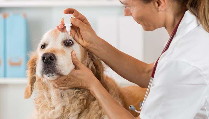 Medicamentos para las alergias oculares para perros