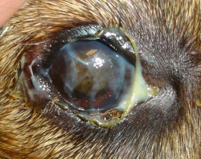 Boogers oculares en perros