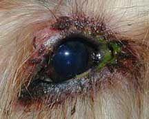 mocos verdes ojos en los perros es un signo de una infecciГіn