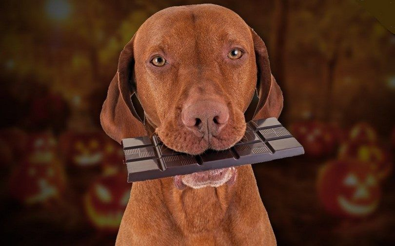 Perro que sostiene un chocolate