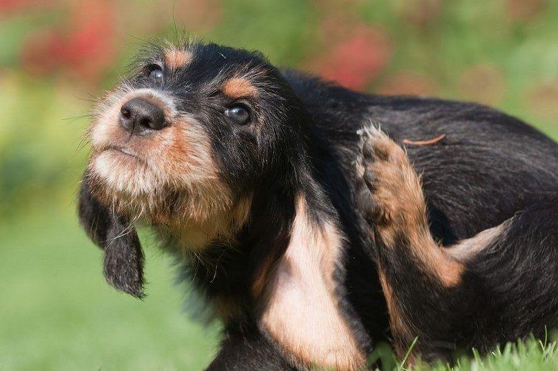 Perro alergia a la hierba: un perro alergia atópica y sus tratamientos