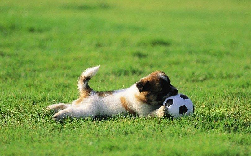 picazón cachorro en una hierba