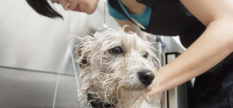 PreparaciГіn del perro 101 - Convertirse en un peluquero profesional del animal domГ©stico