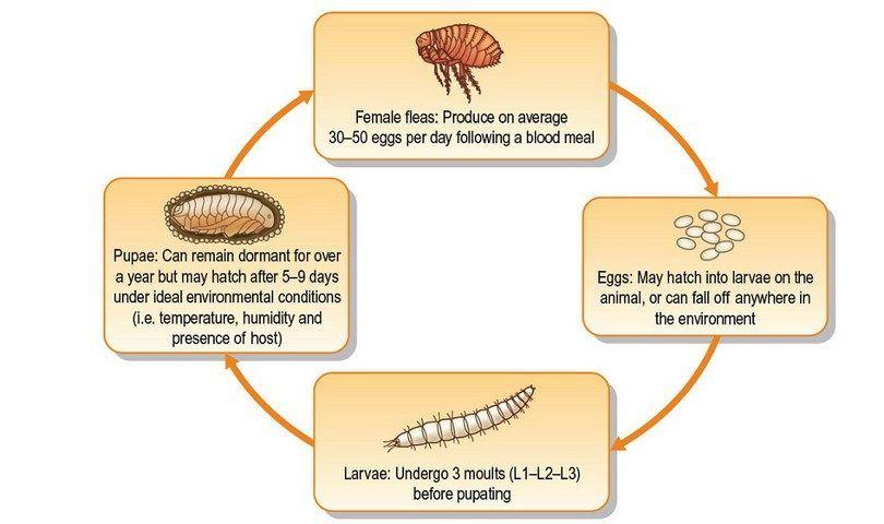 ciclos de vida de la pulga