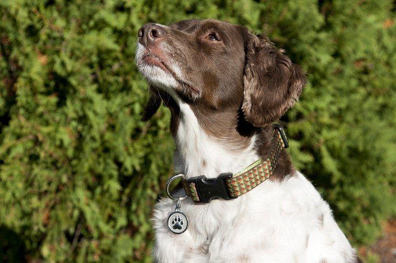 Etiquetas de identificación para perros: guía del propietario de un perro