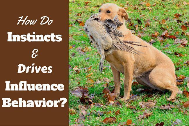 Instintos de perro y unidades - una importante influencia en el comportamiento de labrador