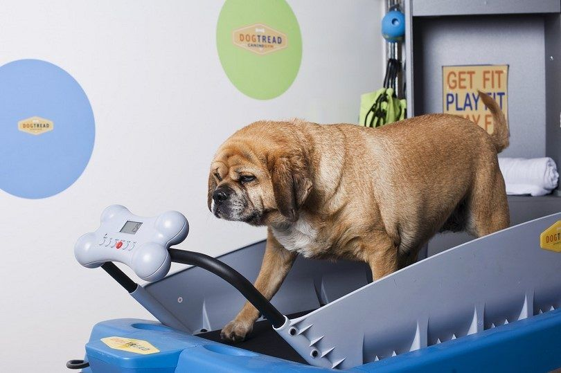 Perro pérdida de peso: peso saludable es de mi perro?