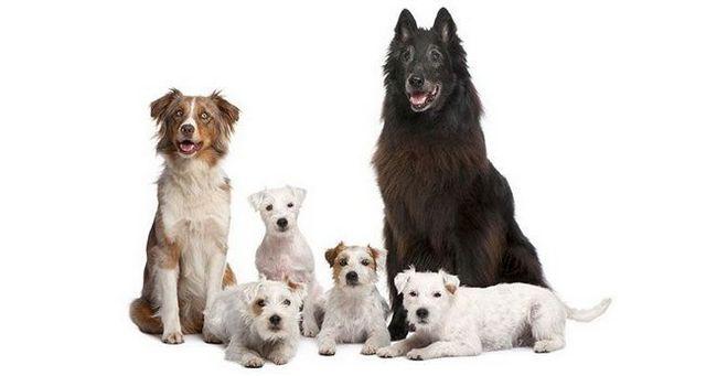 JerarquГa de la manada perro