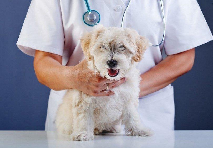 Perro en el control veterinario